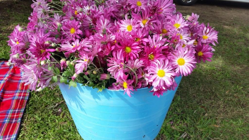 garden-chrysanthemum
